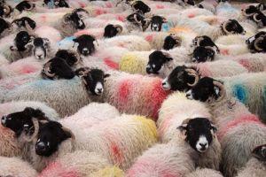 Yorkshire sheep2